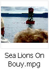 Click here to watch video of sea lions on bouy